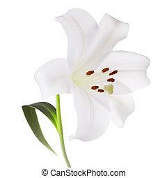 פרח לבן, שושן