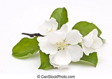 פרח של תפוח העץ