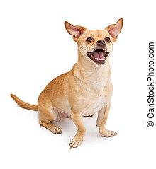 צ'יהאאהאה, כלב של פ.א.ג., ערבב, לחייך שמח