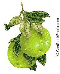 ציטרוס, פרי של עץ, פומלו, וקטור, ענף