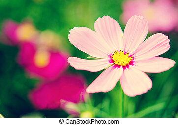קוסמוס, פרחים