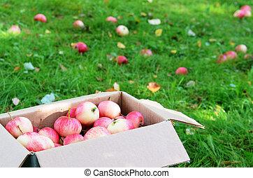 קופסה, עם, בשל, תפוחי עץ, על הדשא