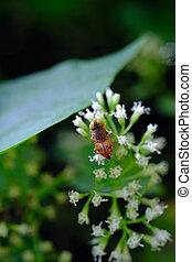 קטן, פרוח, melanogaster, אבקנים, drosophila