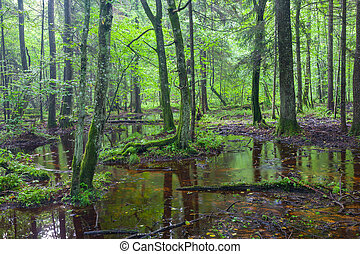 קיץ, עלית שמש, ב, רטוב, נשיר, עמוד, של, bialowieza, יער