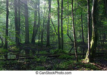 קיץ, עלית שמש, ב, רטוב, עמוד, של, bialowieza, יער