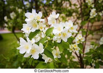 קיץ, פרוח, עץ, philadelphus, -, פרחים, תפוז, לעג