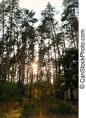קרנות שמש, שפוך, דרך, עצים, ב, יער