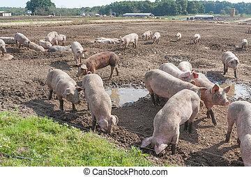 קרפיף, חזירים