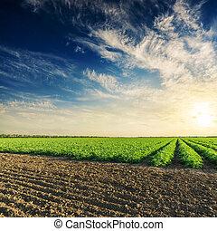 שחור ו, ירוק, חקלאות, תחומים, עם, עגבניות, בושים, ו, עמוק, שמיים כחולים, עם, עננים, ב, שקיעה