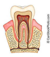 של השיניים, אנטומיה