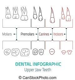 של השיניים, infographic, וקטור