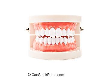 של השיניים, model.