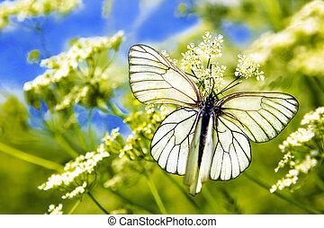 שני, butterfly.