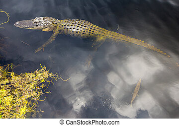 תנין, וואטלאנד, לשחות, פלורידה, בריכה