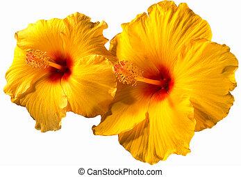 תפוז, היביסקוס, פרחים