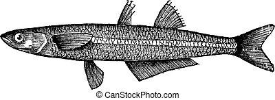 ∥あるいは∥, atherina, 砂, fish., 点を打たれた, big-scale, engraving., notata, 型, キュウリウオ, silverside