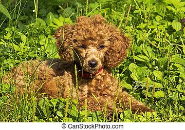 うそ, 草, プードル, 子犬