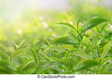 お茶の葉, ∥において∥, a, プランテーション, 中に, ∥, ビーム, の, 日光