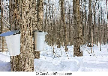 かえで, 樹液, バケツ, 中に, 春