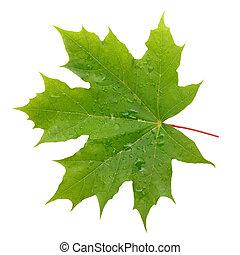 かえで, 緑の葉, ∥で∥, 水滴, 隔離された, 白, 背景