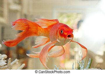 かなり, 金の魚