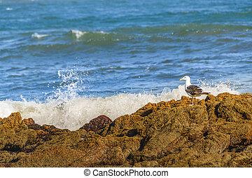 かもめ, punta, del, ウルグアイ, 海岸, 岩が多い, este