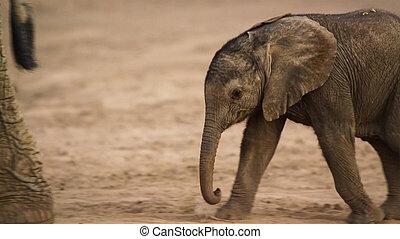かわいい, これ, イメージ, アフリカ, 子牛, 象, 赤ん坊, 肖像画, 南
