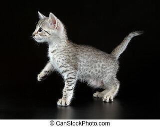 かわいい, わずかしか, エジプト人, mau, 子ネコ