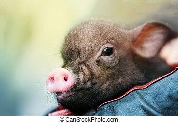 かわいい, わずかしか, 子豚