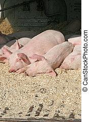 かわいい, わずかしか, 子豚, 睡眠, 一緒に