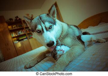 かわいい, わずかしか, 青い目である, ねこちゃん, 犬, cat., 抱擁, ハスキー, 子犬