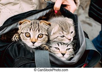 かわいい, モデル, 子ネコ, 3, ねこ, 袋, スコットランド, 届きなさい, 小さい
