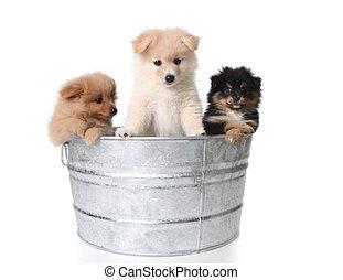 かわいい, 子犬, 金属, pomeranian, washtub