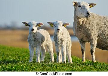 かわいい, 子羊, 中に, 春