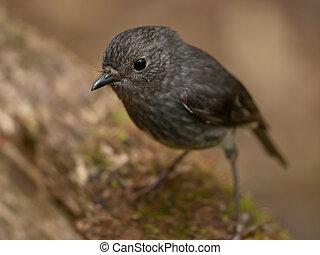 かわいい, 灰色, 鳥
