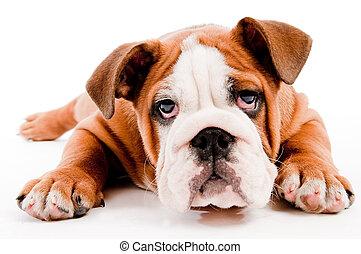 かわいい, 犬