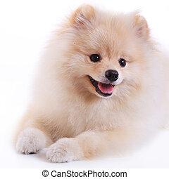 かわいい, 犬, pomeranian, ペット, 白, 子犬