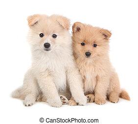 かわいい, pomeranian, 子犬, 一緒に座る, 白, 背景