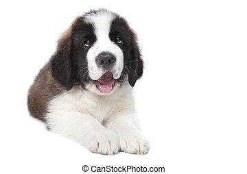 かわいい, purebred, bernard, 聖者, 子犬