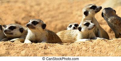 かわいい, ), (, suricata suricatta, meerkat