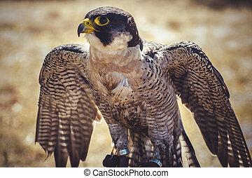 くちばし, スピード, peregrine, 翼, 高く, タカ, 開いた, 鳥