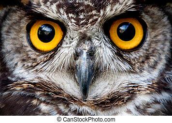 ぐっと近づいて, 顔, 鳥, フクロウ