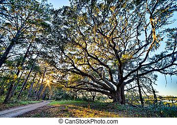 こけ, かけられた, 生きている, オーク, 上に, ∥, edisto, 川, ∥において∥, 植物学, 湾, プランテーション, 中に, サウスカロライナ