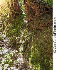 こけ, イメージ, 大きくなりすぎた, クローズアップ, 大きい, 木, 古い, 森林, 岩