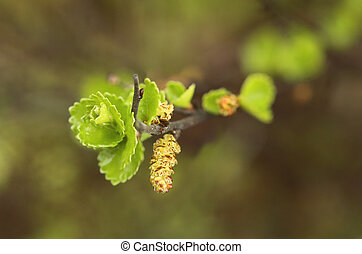こびと, 葉, nana, catkins, シラカバ, betula
