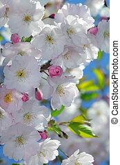 さくらんぼ, ピンク, 花