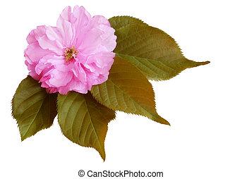 さくらんぼ, 単一の 花