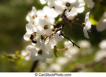さくらんぼ, 咲く