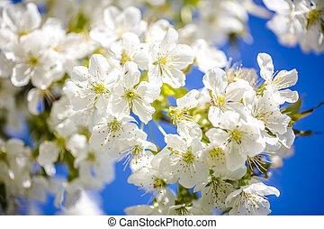 さくらんぼ, 白い花