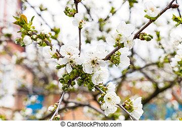 さくらんぼ, 白, 小枝, 黒, 花